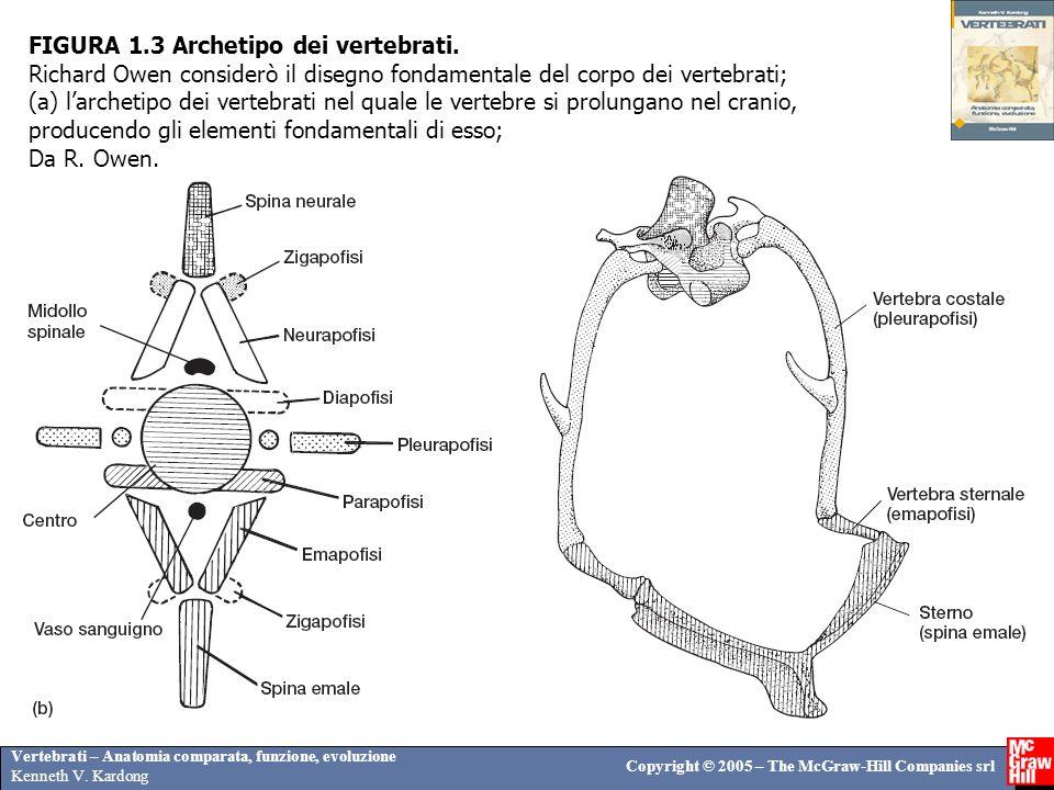 Vertebrati – Anatomia comparata, funzione, evoluzione Kenneth V. Kardong Copyright © 2005 – The McGraw-Hill Companies srl FIGURA 1.3 Archetipo dei ver
