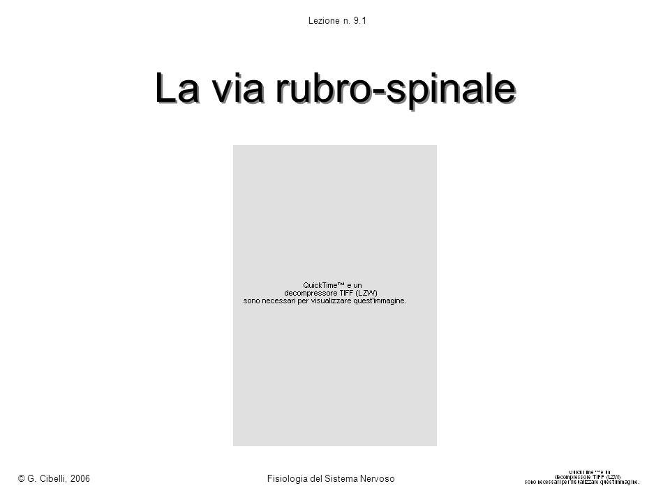 La via rubro-spinale © G. Cibelli, 2006 Fisiologia del Sistema Nervoso Lezione n. 9.1