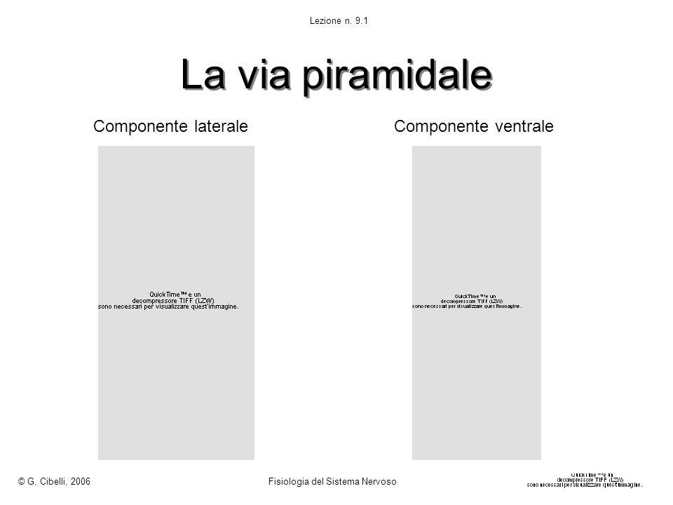 La via piramidale Componente lateraleComponente ventrale © G. Cibelli, 2006 Fisiologia del Sistema Nervoso Lezione n. 9.1