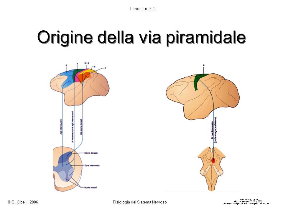 Effetti elettrofisiologici di una fibra cortico-spinale sullattività EMG Ogni fibra cortico- spinale non termina sui motoneuroni di un solo muscolo, ma ha relazioni divergenti con motoneuroni di più muscoli Il numero di muscoli innervati dallo stesso neurone è variabile secondo il tipo di movimento controllato dal neurone © G.