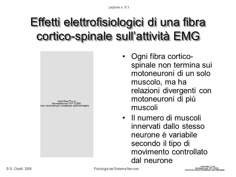Effetti elettrofisiologici di una fibra cortico-spinale sullattività EMG Ogni fibra cortico- spinale non termina sui motoneuroni di un solo muscolo, m
