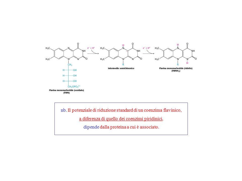 nb. Il potenziale di riduzione standard di un coenzima flavinico, a diferenza di quello dei coenzimi piridinici, dipende dalla proteina a cui è associ