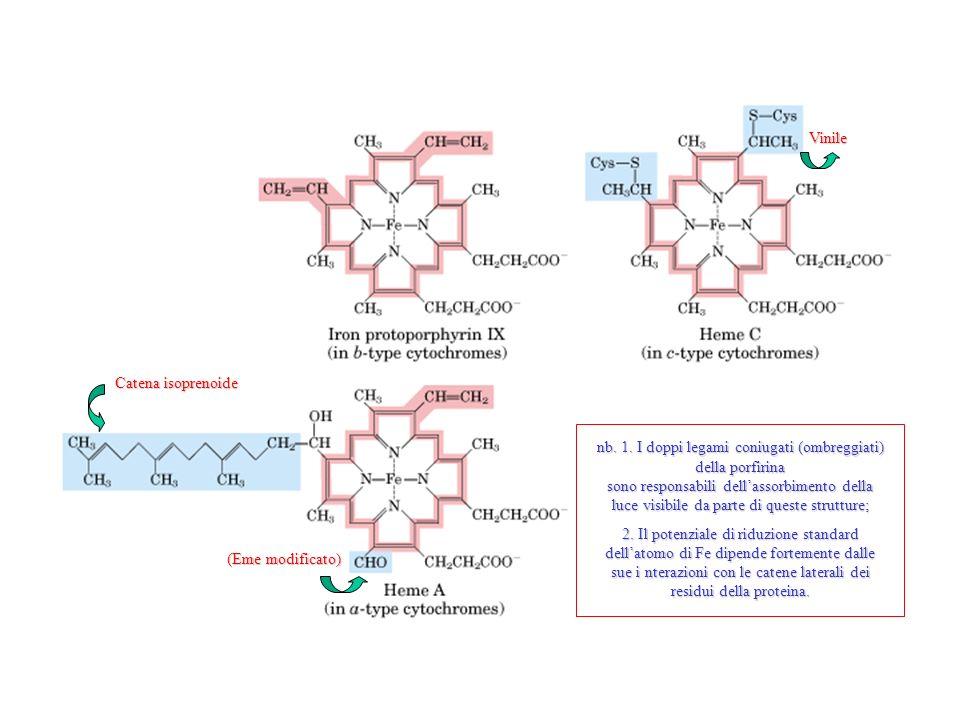 Vinile (Eme modificato) Catena isoprenoide nb. 1. I doppi legami coniugati (ombreggiati) della porfirina sono responsabili dellassorbimento della luce