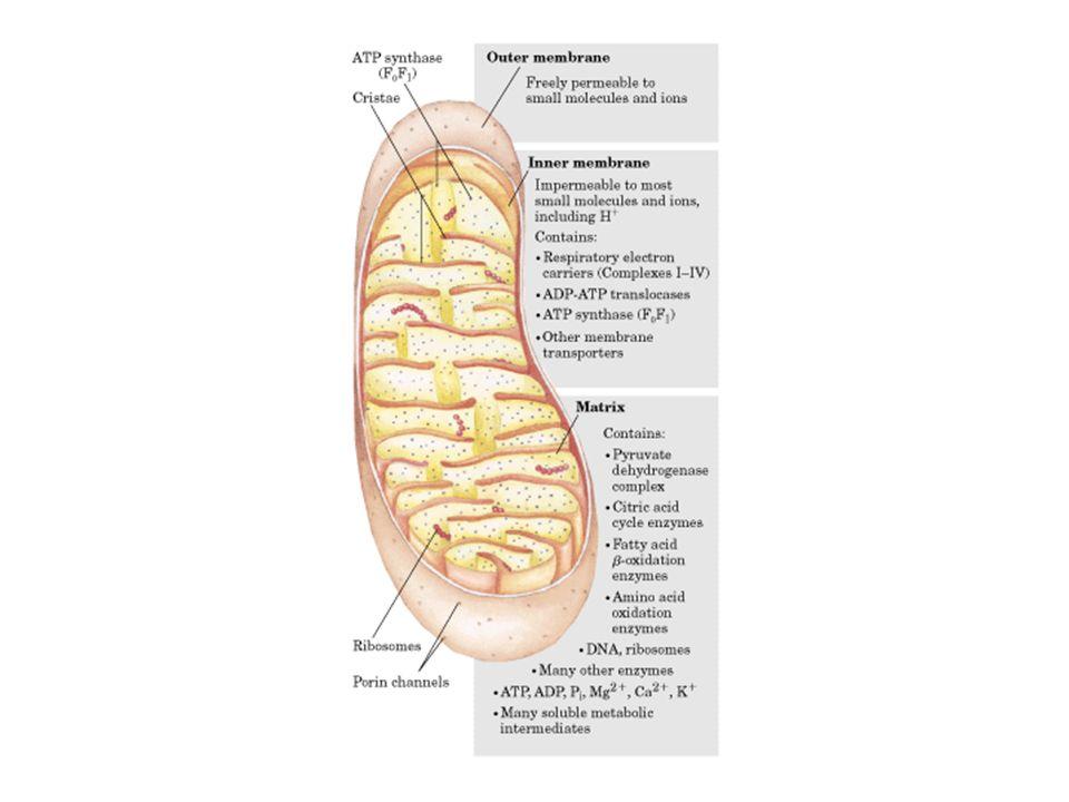 Poiché il pH allesterno della membrana mitocondriale interna dei mitocondri in attiva respirazione è di 1,4 unità più basso di quello interno ed il potenziale di membrana è di 0,14V H + = pH + H + = pH + H + = 2,303 x RT x pH + H + = 2,303 x RT x pH + nF nF H + = 0,084V + 0,14V H + = 0,084V + 0,14V ovvero H + = 0,224V = 224mV H + = 0,224V = 224mV