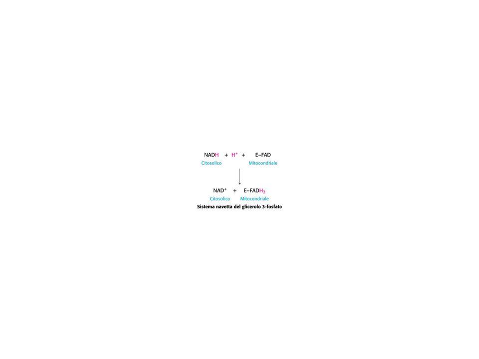 Oltre ai trasportatori di elettroni solubili in acqua NADH, FMNH 2 ed FADH 2 NADH, FMNH 2 ed FADH 2 nella catena respiratoria mitocondriale operano altri gruppi di trasportatori di elettroni: - un benzochinone, due tipi diversi di proteine contenenti ferro - i citocromi e -le proteine ferro-zolfo e - ioni rame.