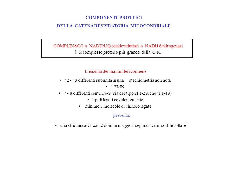 COMPONENTI PROTEICI DELLA CATENA RESPIRATORIA MITOCONDRIALE COMPLESSO I o NADH:UQ ossidoreduttasi o NADH deidrogenasi è il complesso proteico più grande della C.R.