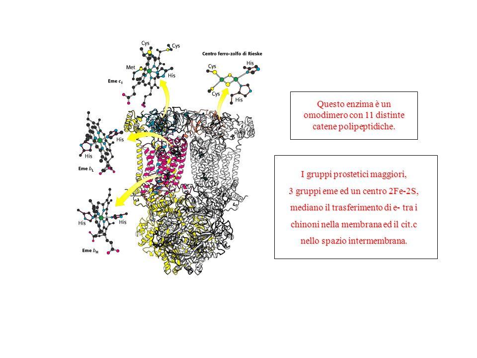 I gruppi prostetici maggiori, 3 gruppi eme ed un centro 2Fe-2S, mediano il trasferimento di e- tra i chinoni nella membrana ed il cit.c nello spazio intermembrana.