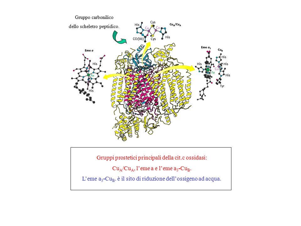 Gruppi prostetici principali della cit.c ossidasi: Cu A /Cu A, leme a e leme a 3 -Cu B. Leme a 3 -Cu B. è il sito di riduzione dellossigeno ad acqua.