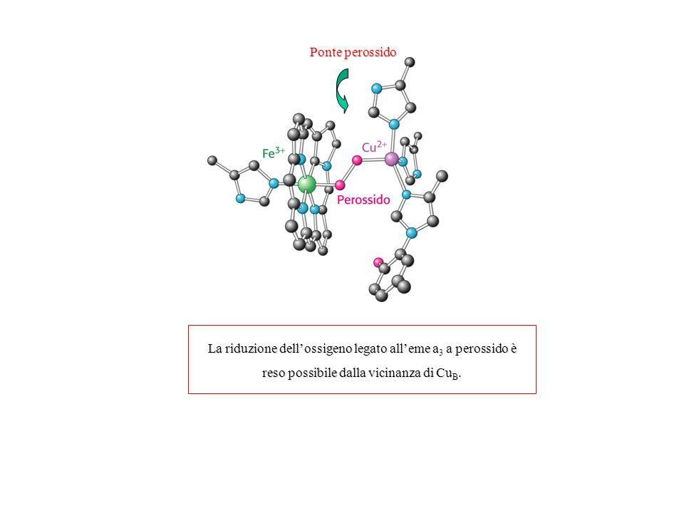Ponte perossido La riduzione dellossigeno legato alleme a 3 a perossido è reso possibile dalla vicinanza di Cu B.