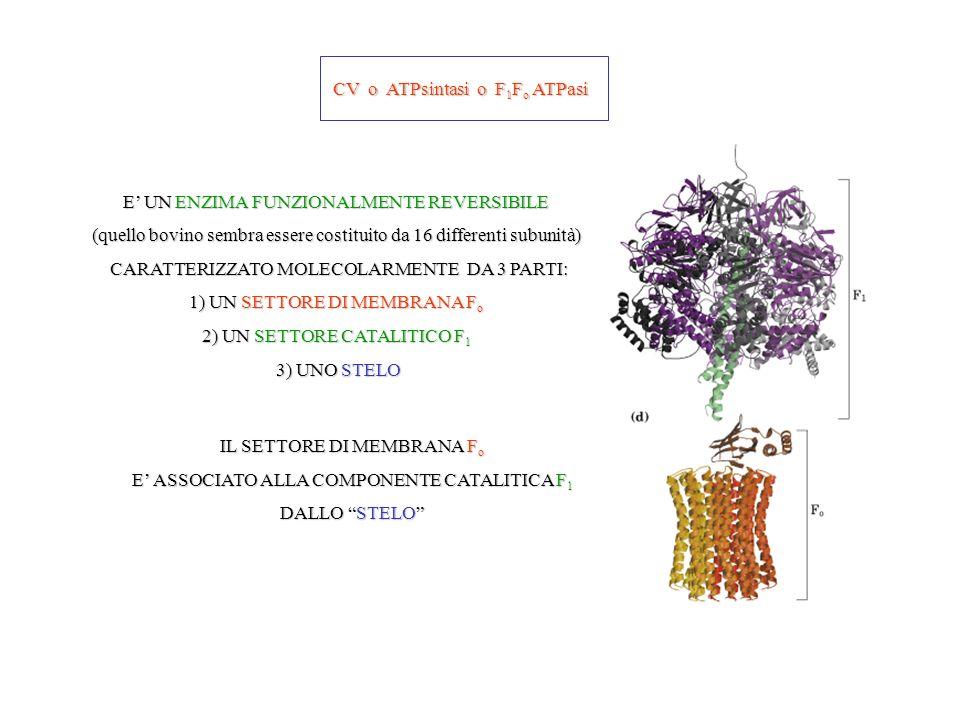CV o ATPsintasi o F 1 F o ATPasi E UN ENZIMA FUNZIONALMENTE REVERSIBILE (quello bovino sembra essere costituito da 16 differenti subunità) CARATTERIZZATO MOLECOLARMENTE DA 3 PARTI: CARATTERIZZATO MOLECOLARMENTE DA 3 PARTI: 1) UN SETTORE DI MEMBRANA F o 2) UN SETTORE CATALITICO F 1 3) UNO STELO 3) UNO STELO IL SETTORE DI MEMBRANA F o E ASSOCIATO ALLA COMPONENTE CATALITICA F 1 DALLO STELO