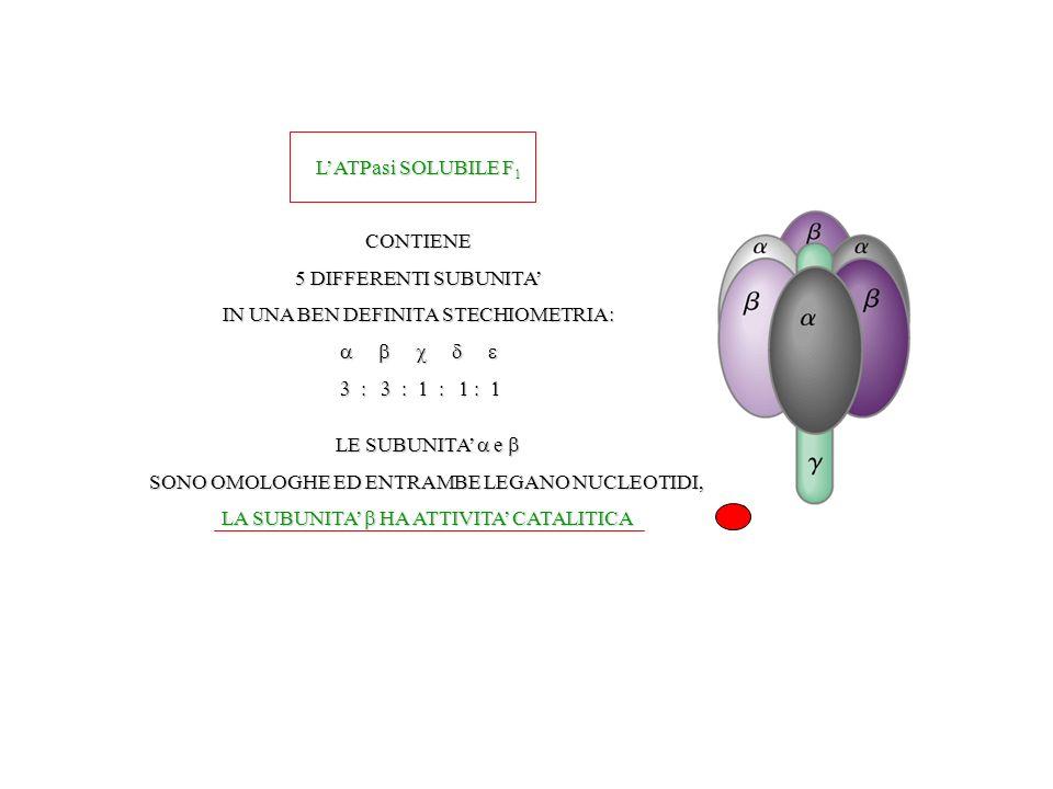 LATPasi SOLUBILE F 1 CONTIENE 5 DIFFERENTI SUBUNITA IN UNA BEN DEFINITA STECHIOMETRIA: LE SUBUNITA e SONO OMOLOGHE ED ENTRAMBE LEGANO NUCLEOTIDI, LA SUBUNITA HA ATTIVITA CATALITICA