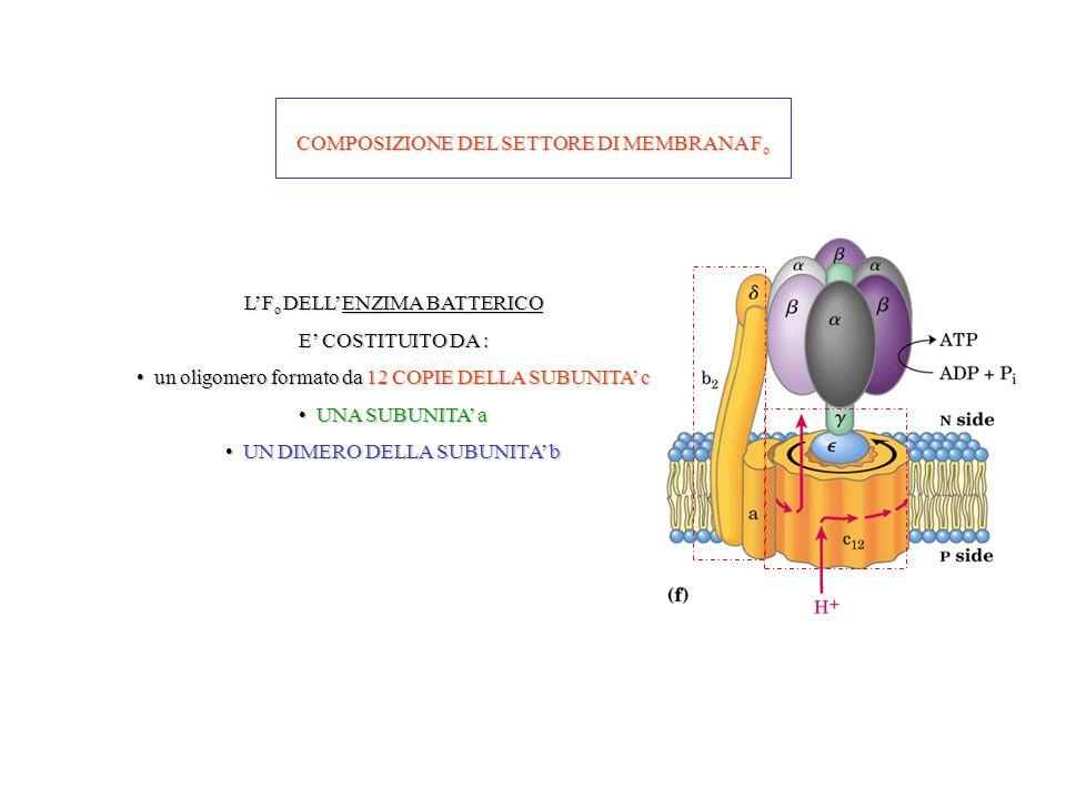 COMPOSIZIONE DEL SETTORE DI MEMBRANA F o LF o DELLENZIMA BATTERICO E COSTITUITO DA : un oligomero formato da 12 COPIE DELLA SUBUNITA c un oligomero fo