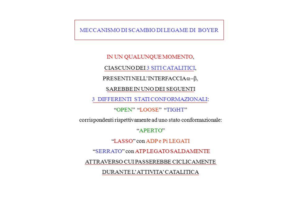 MECCANISMO DI SCAMBIO DI LEGAME DI BOYER IN UN QUALUNQUE MOMENTO, CIASCUNO DEI 3 SITI CATALITICI, PRESENTI NELLINTERFACCIA, SAREBBE IN UNO DEI SEGUENTI 3 DIFFERENTI STATI CONFORMAZIONALI: OPEN LOOSE TIGHTOPEN LOOSE TIGHT corrispondenti rispettivamente ad uno stato conformazionale: APERTOAPERTO LASSO con ADP e Pi LEGATILASSO con ADP e Pi LEGATI SERRATO con ATP LEGATO SALDAMENTE SERRATO con ATP LEGATO SALDAMENTE ATTRAVERSO CUI PASSEREBBE CICLICAMENTE DURANTE LATTIVITA CATALITICA