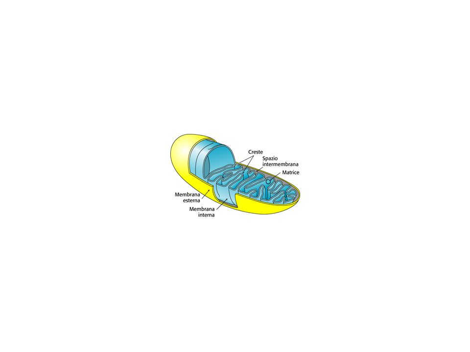 CIII o UQH 2 :CITOCROMO c OSSIDOREDUTTASI o COMPLESSO b-c 1 Il complesso dei mammiferi contiene 11 subunità di cui: solo 3, che peraltro hanno omologhi nei batteri e possiedono i centri redox coinvolti nel processo di conservazione di energia, rappresentano le subunità indispensabili allattività del CIII: - cit.b (codificato dal mtDNA, è caratterizzato da 8 eliche transmembrana e 2 emi posti a sandwich tra le eliche B e D) - 1 Fe-S proteina (ISP) ancorata alla membrana contenente un centro Fe 2 S 2 di tipo Rieske - 1 cit.c 1 ancorato alla membrana le altre 8 sono subunità più piccole di cui non si conosce il ruolo e sono dette subunità sovranumerarie.