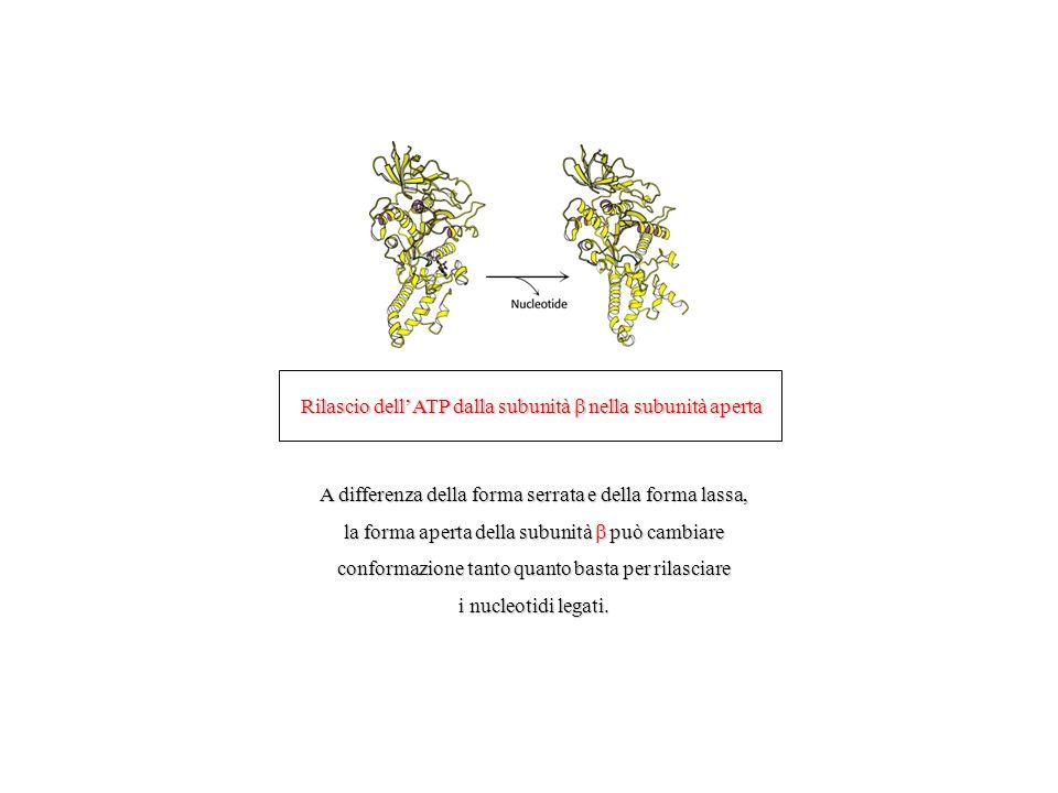 Rilascio dellATP dalla subunità nella subunità aperta A differenza della forma serrata e della forma lassa, la forma aperta della subunità può cambiare conformazione tanto quanto basta per rilasciare i nucleotidi legati.