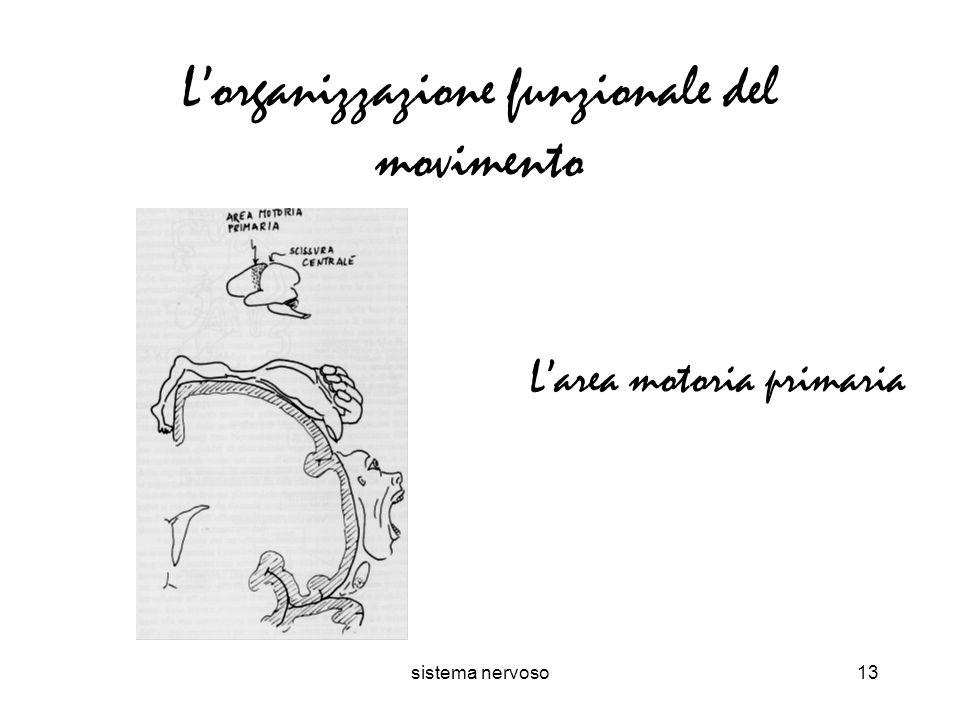 sistema nervoso13 Lorganizzazione funzionale del movimento Larea motoria primaria