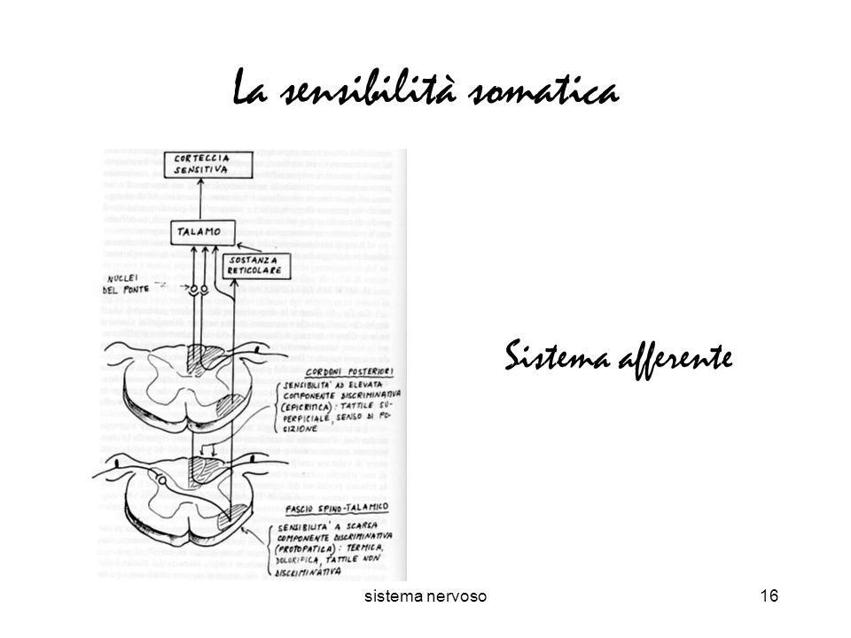 sistema nervoso16 La sensibilità somatica Sistema afferente