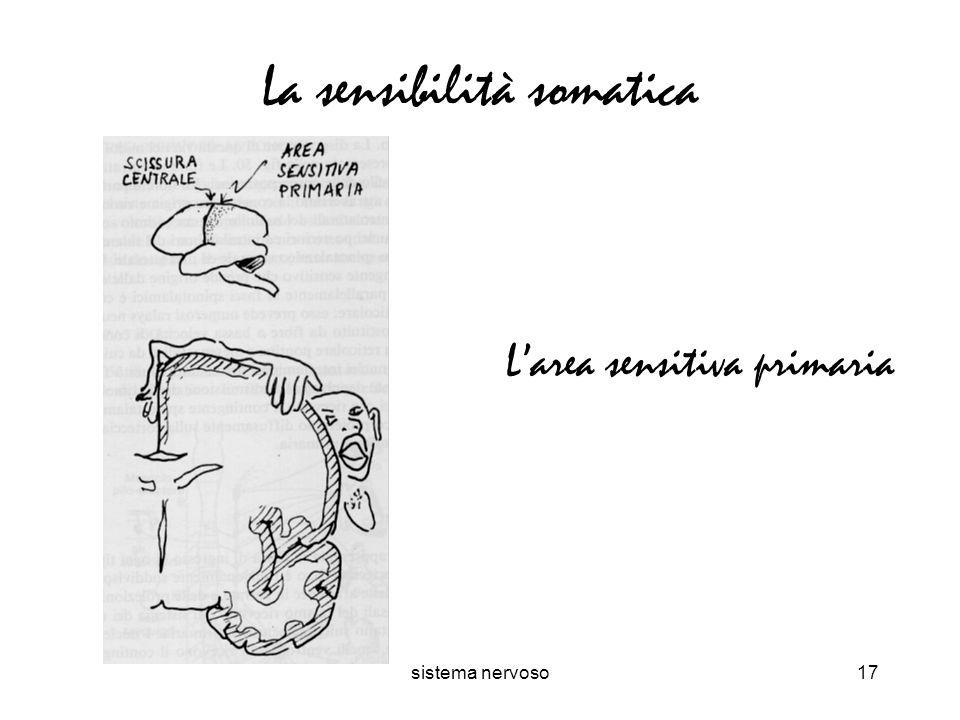 sistema nervoso17 La sensibilità somatica Larea sensitiva primaria