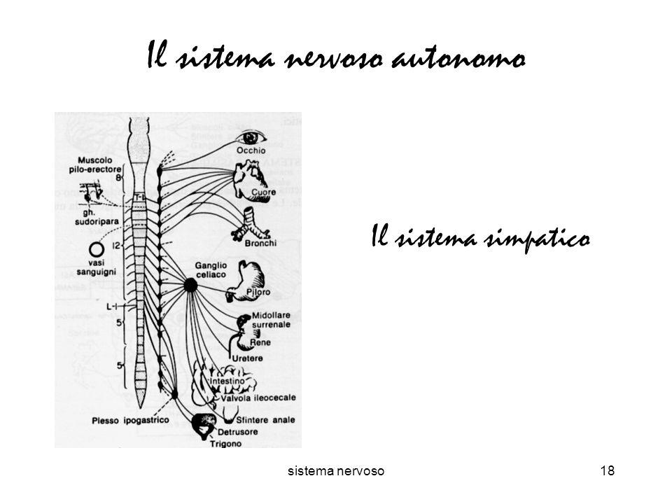 sistema nervoso18 Il sistema nervoso autonomo Il sistema simpatico