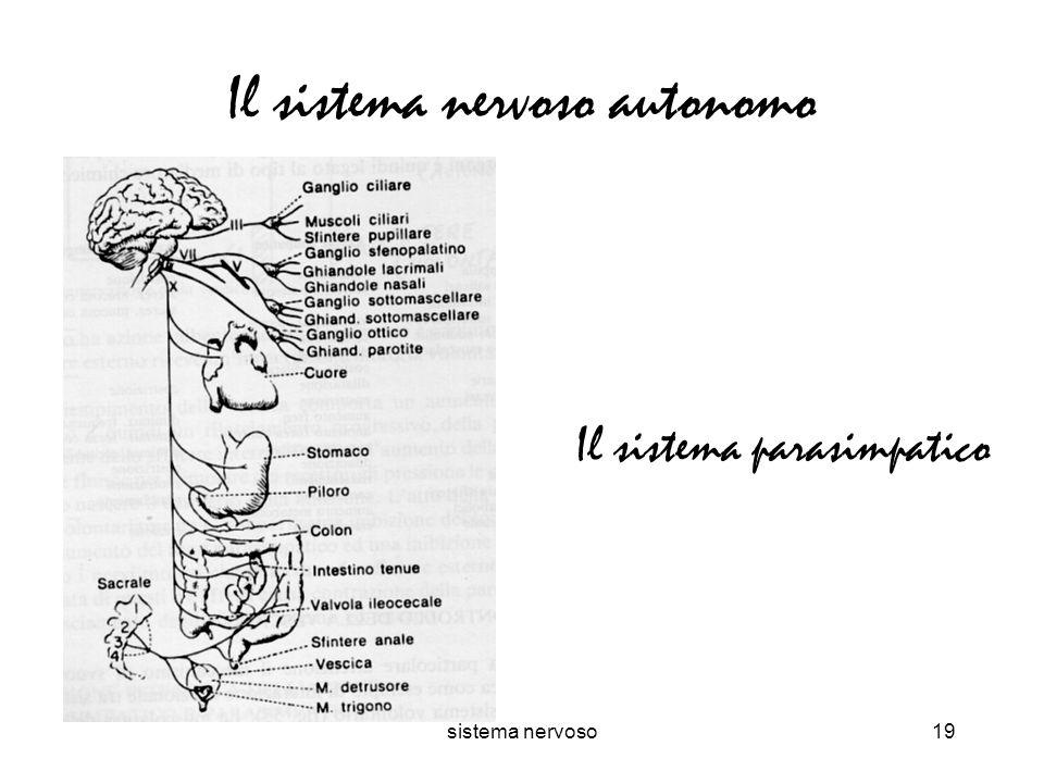 sistema nervoso19 Il sistema nervoso autonomo Il sistema parasimpatico