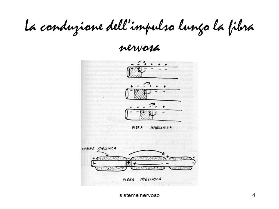 sistema nervoso4 La conduzione dellimpulso lungo la fibra nervosa