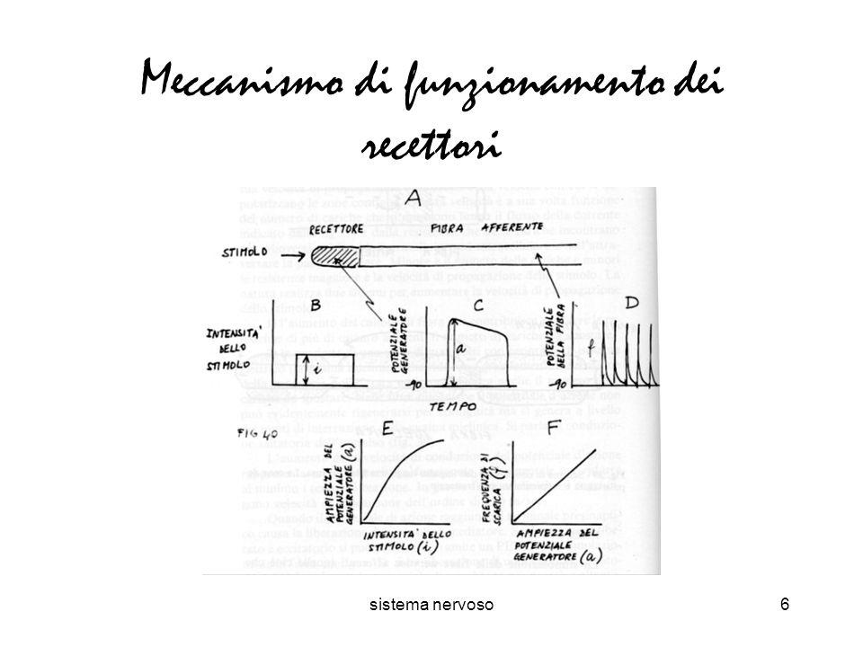 sistema nervoso6 Meccanismo di funzionamento dei recettori