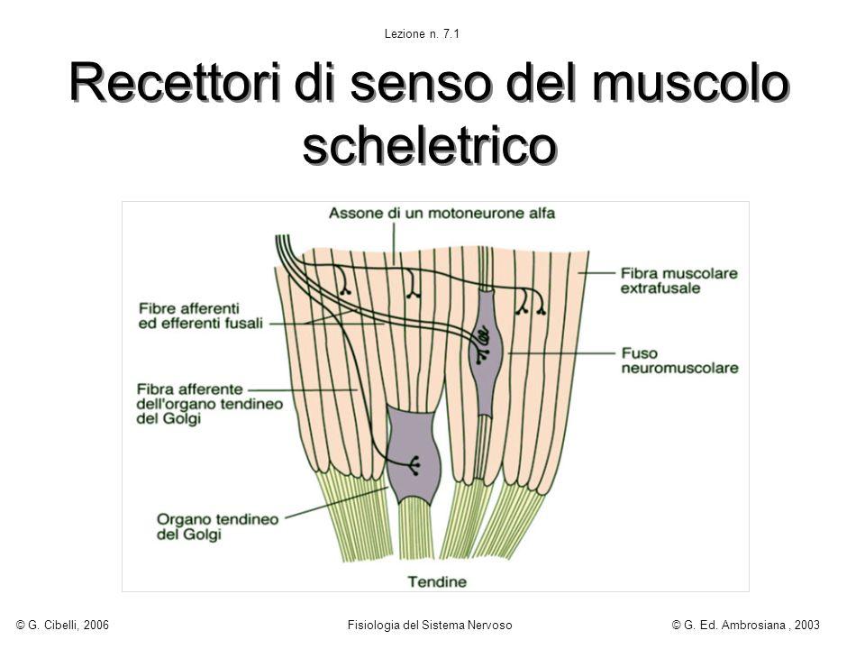 Recettori di senso del muscolo scheletrico Lezione n. 7.1 © G. Cibelli, 2006 Fisiologia del Sistema Nervoso© G. Ed. Ambrosiana, 2003