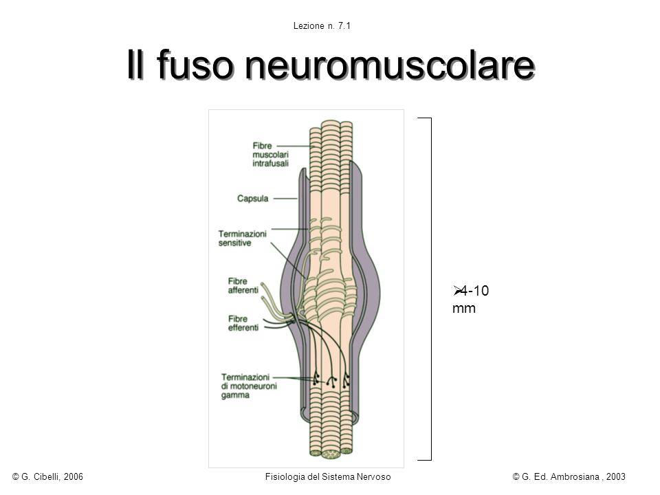 Il fuso neuromuscolare 4-10 mm Lezione n. 7.1 © G. Cibelli, 2006 Fisiologia del Sistema Nervoso© G. Ed. Ambrosiana, 2003