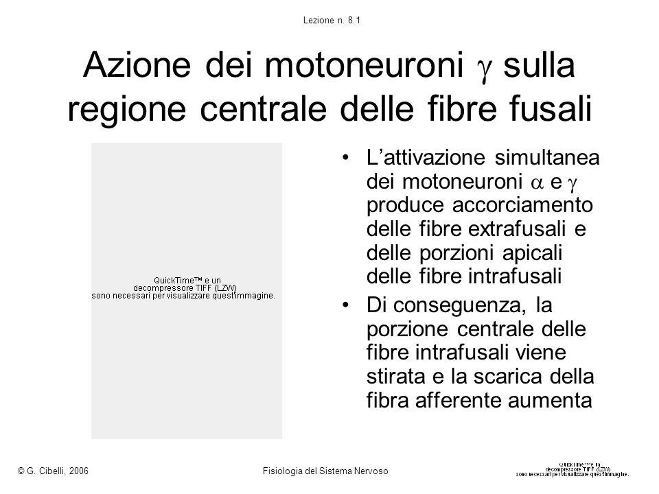Azione dei motoneuroni sulla regione centrale delle fibre fusali Lattivazione simultanea dei motoneuroni e produce accorciamento delle fibre extrafusa