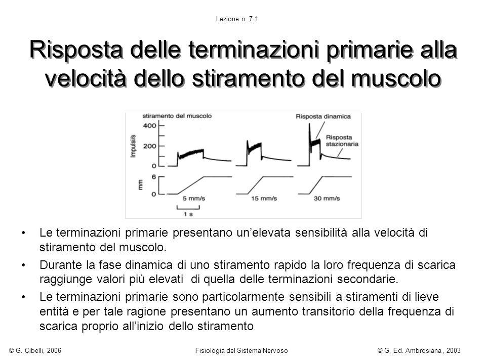 Risposta delle terminazioni primarie alla velocità dello stiramento del muscolo Le terminazioni primarie presentano unelevata sensibilità alla velocit
