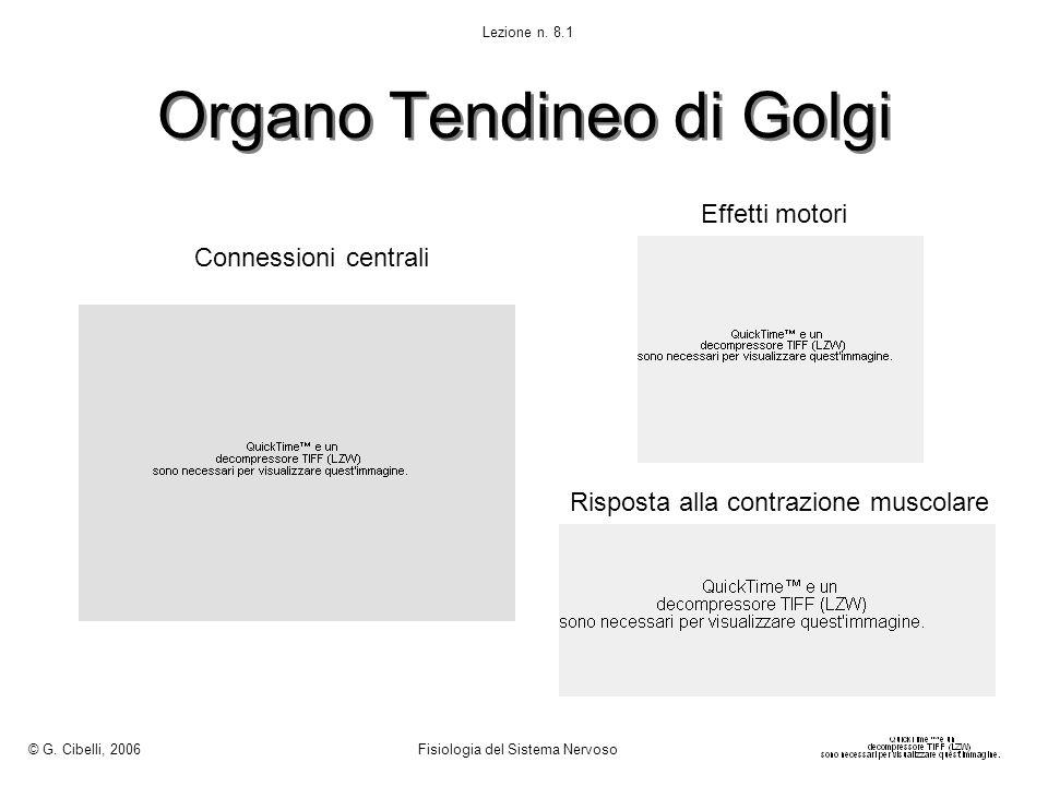 Organo Tendineo di Golgi Connessioni centrali Effetti motori Risposta alla contrazione muscolare © G. Cibelli, 2006 Fisiologia del Sistema Nervoso Lez