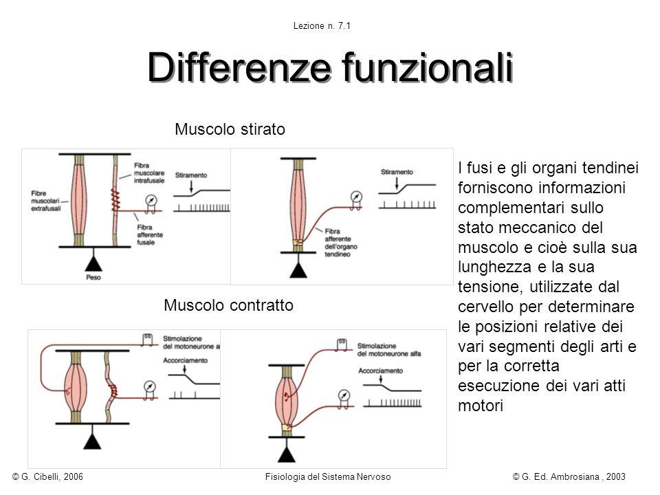 Differenze funzionali Muscolo stirato Muscolo contratto I fusi e gli organi tendinei forniscono informazioni complementari sullo stato meccanico del m