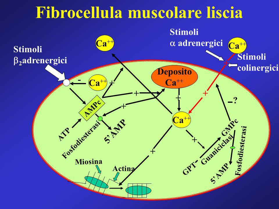 Deposito Ca ++ Stimoli 2 adrenergici AMPc 5AMP Fosfodiesterasi ATP Actina Miosina + + + Stimoli colinergici Stimoli adrenergici + + + + + Guaniciclasi