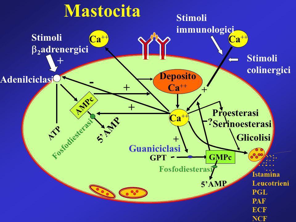 Deposito Ca ++ Stimoli 2 adrenergici AMPc 5AMP Fosfodiesterasi ATP + Stimoli colinergici Stimoli immunologici + GMPc GPT ? 5AMP … … ….. … … … Istamina