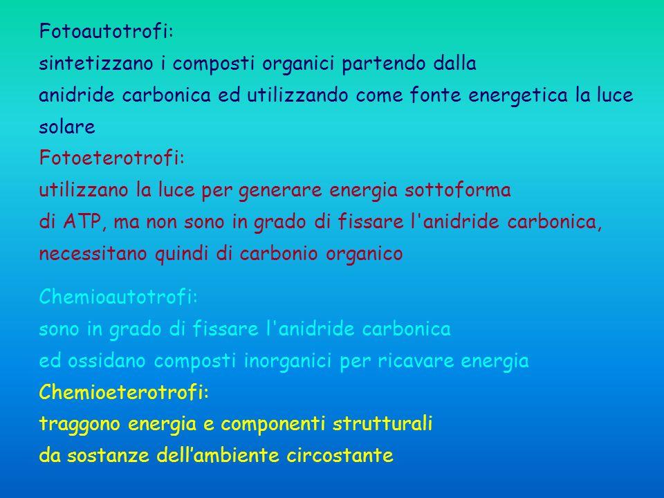 Chemioautotrofi: sono in grado di fissare l anidride carbonica ed ossidano composti inorganici per ricavare energia Chemioeterotrofi: traggono energia e componenti strutturali da sostanze dellambiente circostante Fotoautotrofi: sintetizzano i composti organici partendo dalla anidride carbonica ed utilizzando come fonte energetica la luce solare Fotoeterotrofi: utilizzano la luce per generare energia sottoforma di ATP, ma non sono in grado di fissare l anidride carbonica, necessitano quindi di carbonio organico