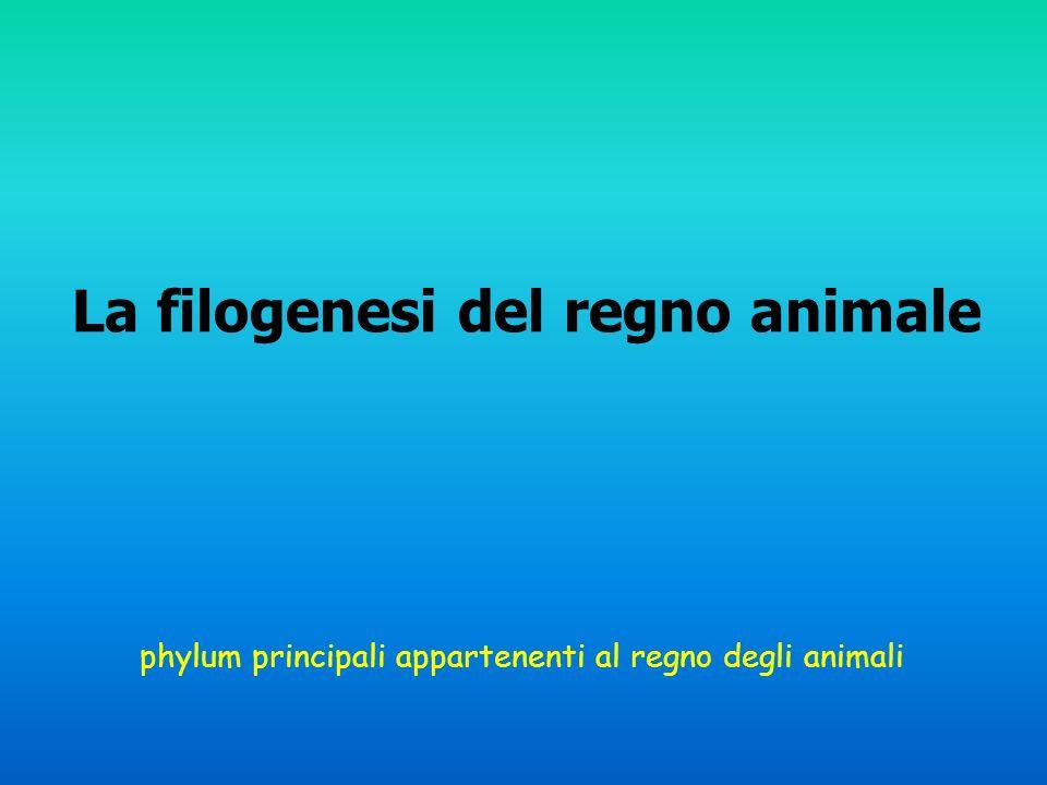 phylum principali appartenenti al regno degli animali La filogenesi del regno animale