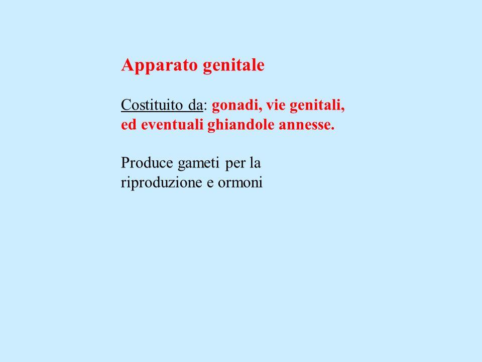 Apparato genitale Costituito da: gonadi, vie genitali, ed eventuali ghiandole annesse. Produce gameti per la riproduzione e ormoni