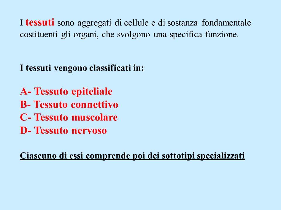 I tessuti sono aggregati di cellule e di sostanza fondamentale costituenti gli organi, che svolgono una specifica funzione. I tessuti vengono classifi