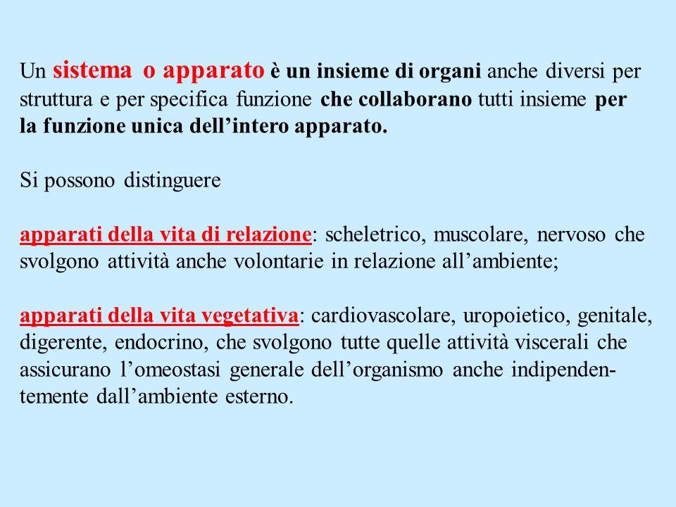 Apparato tegumentario : Costituito da: pelle, ghiandole, recettori sensitivi, peli, unghie.