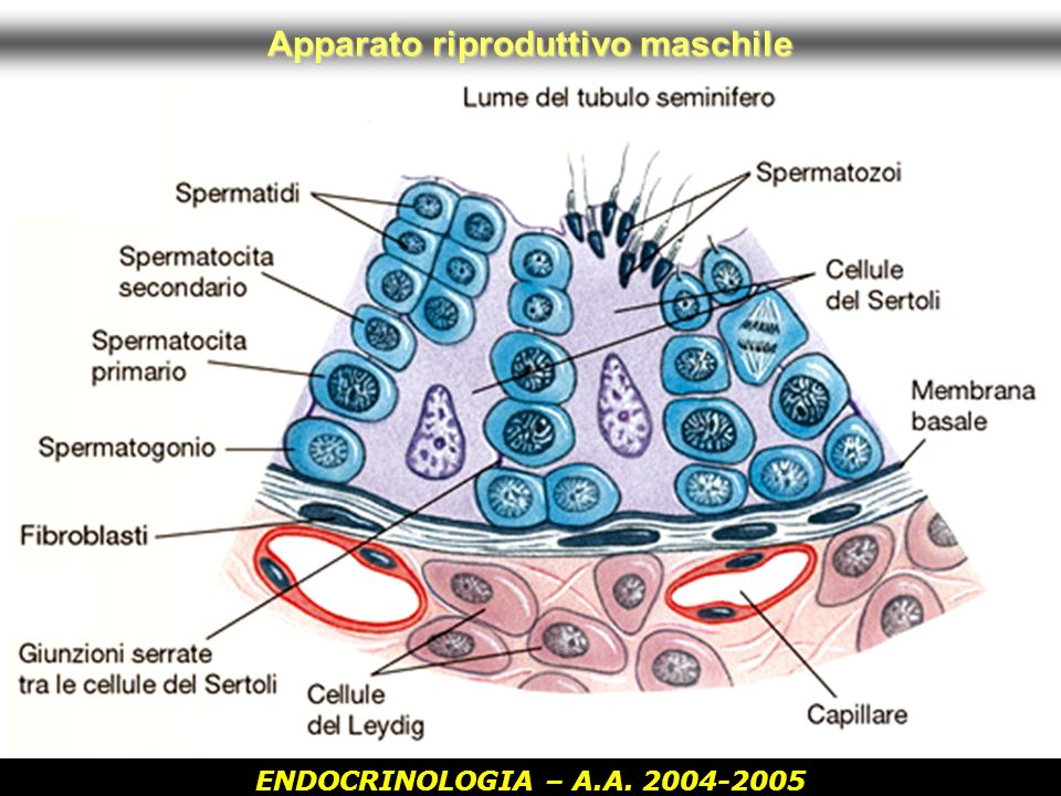 ENDOCRINOLOGIA – A.A. 2004-2005 Apparato riproduttivo maschile