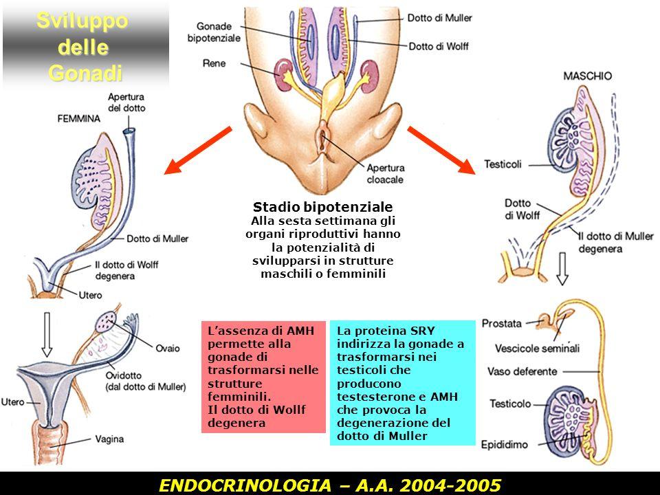 ENDOCRINOLOGIA – A.A. 2004-2005SviluppodelleGonadi Stadio bipotenziale Alla sesta settimana gli organi riproduttivi hanno la potenzialità di sviluppar