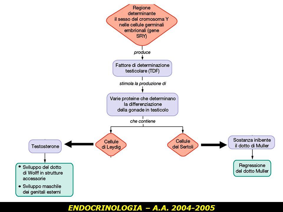 ENDOCRINOLOGIA – A.A. 2004-2005