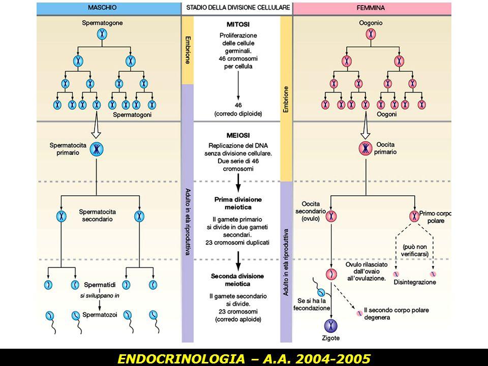 ENDOCRINOLOGIA – A.A. 2004-2005 Controllo ormonale della spermatogenesi