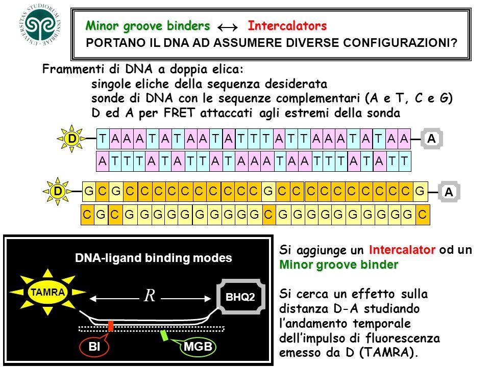 Minor groove binder RISULTATI PER DOSI CRESCENTI DI: BIMGB Minor groove binder Minor groove binder avvicina A a D DNA BENDING: la doppia elica si piega Intercalator Intercalator allontana A da D DNA STRETCHING: le doppie basi si allontanano luna dallaltra TAMRA BHQ2 Durata dellimpulsodi fluorescenza Quantita relativa di MGB (HOEC) DNA-Base Intercalator Quantita relativa di BI (QUIN)