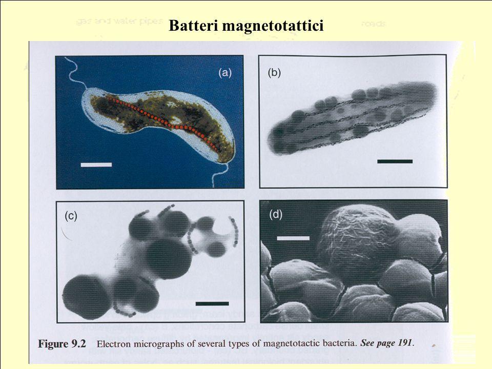 Batteri magnetotattici