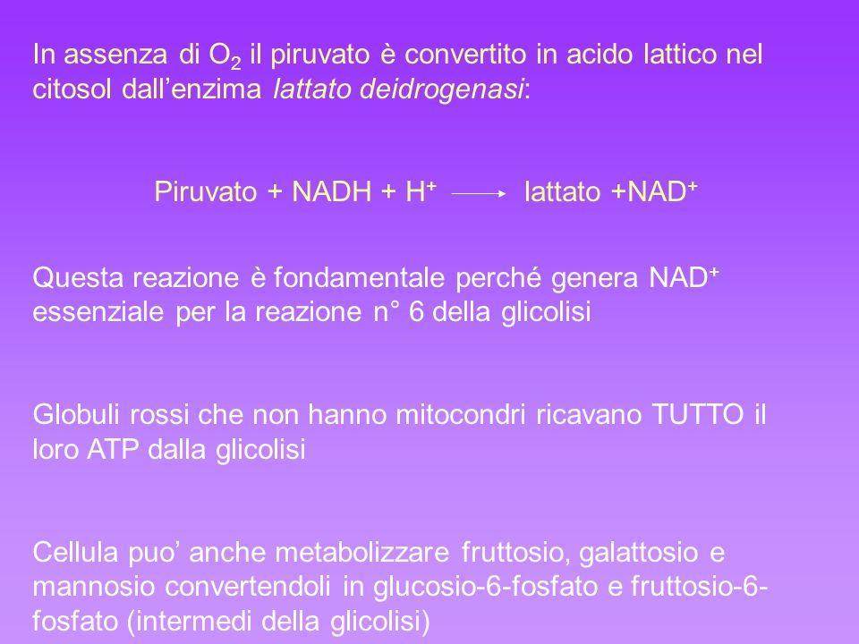 In assenza di O 2 il piruvato è convertito in acido lattico nel citosol dallenzima lattato deidrogenasi: Piruvato + NADH + H + lattato +NAD + Questa r