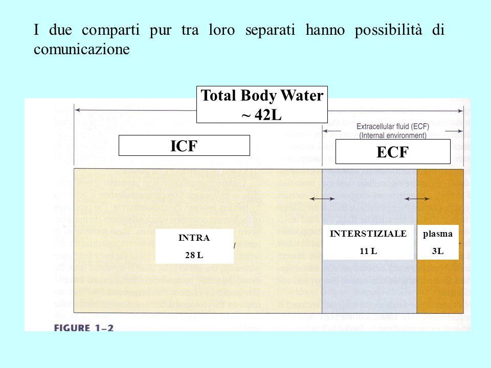 I due comparti pur tra loro separati hanno possibilità di comunicazione INTRA 28 L INTERSTIZIALE 11 L plasma 3L ICF ECF Total Body Water ~ 42L