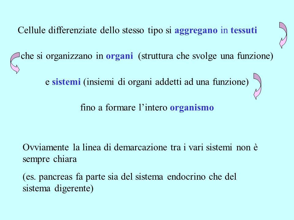 Cellule differenziate dello stesso tipo si aggregano in tessuti che si organizzano in organi (struttura che svolge una funzione) e sistemi (insiemi di