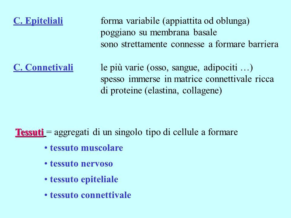 C. Epiteliali forma variabile (appiattita od oblunga) poggiano su membrana basale sono strettamente connesse a formare barriera C. Connetivalile più v