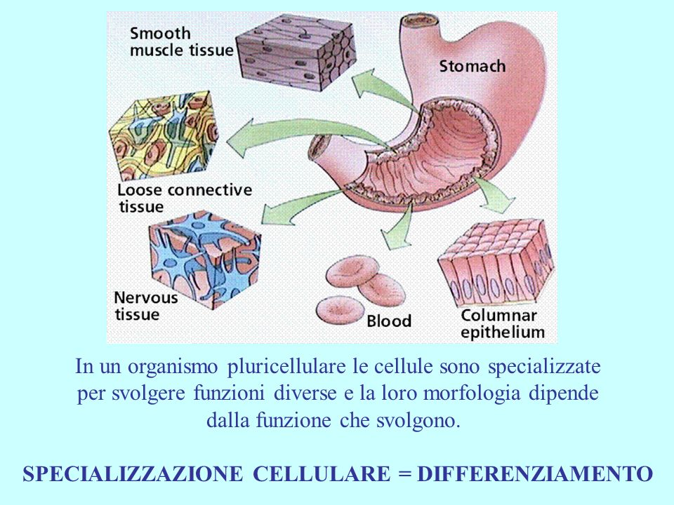In un organismo pluricellulare le cellule sono specializzate per svolgere funzioni diverse e la loro morfologia dipende dalla funzione che svolgono. S